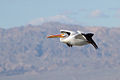 Pelecanus erythrorhynchos -Salton Sea, California, USA -flying-8.jpg