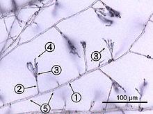 Fungi Wikipedia La Enciclopedia Libre