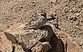 Petronia petronia - Rock sparrow 02.jpg