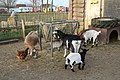Petting zoo at Camping Zeeburg, Amsterdam (26252928106).jpg