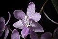 Phalaenopsis equestris var. rosea (Luzon, Philippines) Valmayor & D.Tiu, Philipp. Orchid Rev. A-V(3)- 18 (1983) (38438796336).jpg