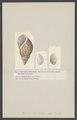 Phasianella - Print - Iconographia Zoologica - Special Collections University of Amsterdam - UBAINV0274 005 02 0025.tif