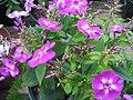 Phlox paniculata Laura 1zz.jpg