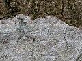 Phlyctis argena 120842007.jpg