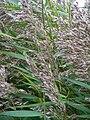 Phragmites australis 2009.JPG