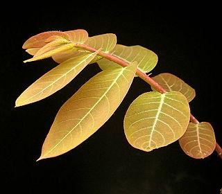 <i>Phyllanthus</i> genus of plants