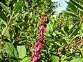 Phytolacca octandra flowerhead11 post-fruit DC (16605698532).jpg