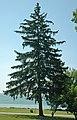 Picea abies (Norway spruce) 8 (49047419876).jpg