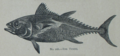 Picture Natural History - No 216 - The Tunny.png