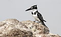 Pied Kingfisher, Ceryle rudis at Borakalalo National Park, South Africa (9822703936).jpg