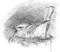 Pimpelmees Cyanistes caeruleus Jos Zwarts 3.tif