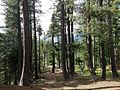 Pine Forest, Boyun Village Swat.jpg