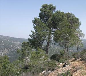 Oren - An Oren tree