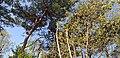 Pine tree and Korean angelica-trees.jpg