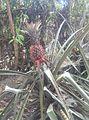 Pineapple nature.jpg