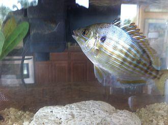 Lagodon rhomboides - Image: Pinfish 3