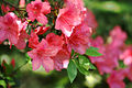 Pink Azaleas (1395321868).jpg