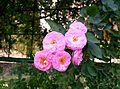 Pink roses specimen 2.jpg