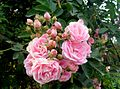 Pink roses with buds.jpg