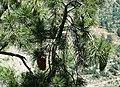 Pinus gerardiana India18.jpg