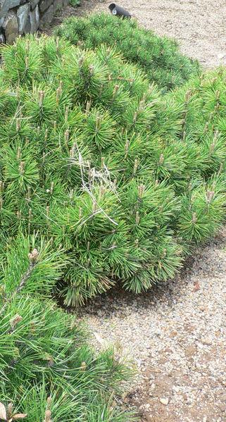 Fișier:Pinus mugo.jpg