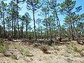 Pinus pinaster in Dunas de Mira.JPG