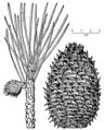 Pinus pungens drawing.png