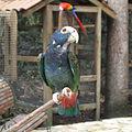 Pionus senilis -Macaw Mountain Bird Park, Honduras-8b-4c.jpg