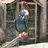 Pionus senilis -Macaw Mountain Bird Park, Honduras-8b-4c