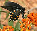 Pipevine Swallowtail on Butterfly Weed (2552294158).jpg