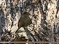 Plain Mountain Finch (Leucosticte nemoricola) (25719118268).jpg