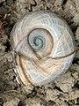 Planorbarius corneus 125202650.jpg