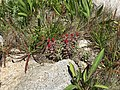 Plantago maritima plant (49).jpg