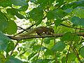 Plantain Squirrel (Callosciurus notatus) (15113225013).jpg