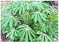 Plants de cassave (manioc).jpg