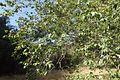 Platanus racemosa kz1.jpg