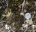 Pleuridium mexicanum (7462212694).jpg