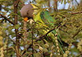 Plum-headed Parakeet (Psittacula cyanocephala) feeding on Acacia nilotica W2 IMG 4501.jpg