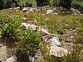Poa fendleriana & Vahlodea atropurpurea (6083572362).jpg