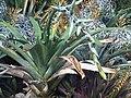 Poales - Vriesea amethystina 5.jpg