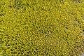Podocarpus nivalis in Rangipo Desert 05.jpg