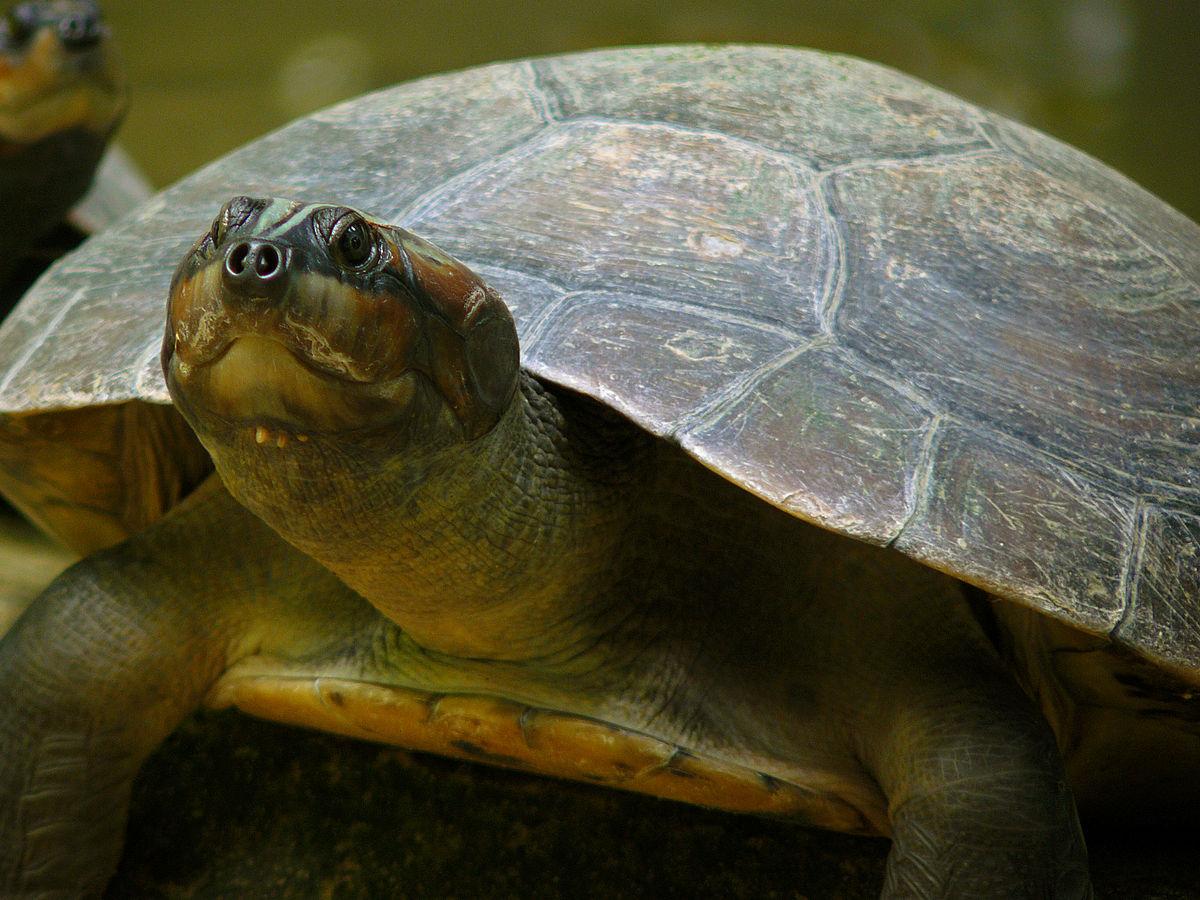 Arrau turtle wikipedia publicscrutiny Gallery