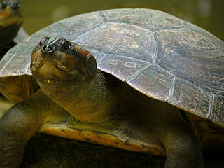 Arrau turtle species of reptile
