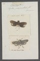 Poeocera - Print - Iconographia Zoologica - Special Collections University of Amsterdam - UBAINV0274 042 02 0034.tif