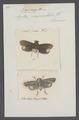 Poeocera - Print - Iconographia Zoologica - Special Collections University of Amsterdam - UBAINV0274 042 02 0034.tif