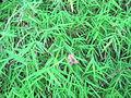 Pogonatherum paniceum NP.JPG