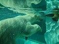 Polar Bear - Ueno Zoo - Tokyo - Japan (15244475353).jpg