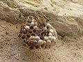 Polistes gallicus nest Levico 01.jpg