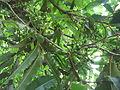 Polyalthia longifolia-2-yercaud-salem-India.JPG