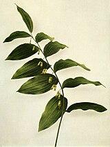 Polygonatum pubescens WFNY-021.jpg